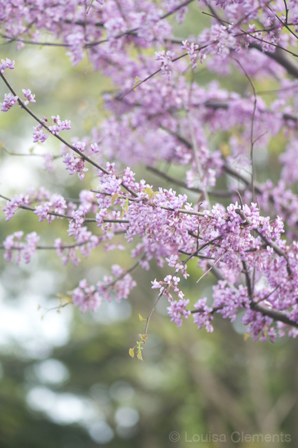 blooming purple flowers on a tree